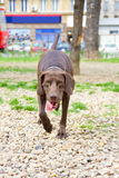 Brown dog in park with tongue sticking out Stock Photography