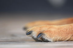 Brown dog paws. Paws of a brown dog Royalty Free Stock Image