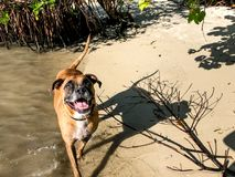 Brown dog playing on the shore of the beach. Boxer dog on the sandy shore of the beach on an island stock photography