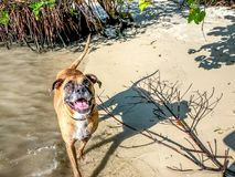 brown dog playing on the shore of the beach Royalty Free Stock Photography