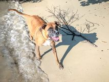 brown dog playing on the shore of the beach Stock Photography