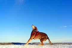 Brown dog playing in the snow Royalty Free Stock Photo