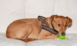 Brown dog playing with toy Stock Images