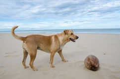 Brown dog playing the waves at the beach with coconut Royalty Free Stock Image