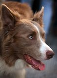 Brown dog portrait Royalty Free Stock Images