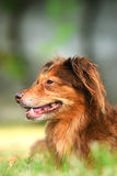 Brown dog portrait. Portrait of a brown dog Stock Photography