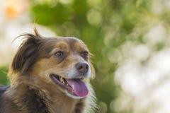 Brown dog portrait. Portrait of a brown dog Stock Image