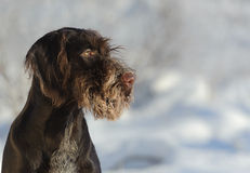 Brown dog portrait against the snow Royalty Free Stock Image