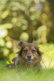 Brown dog portrait. Portrait of a cute brown dog Royalty Free Stock Photos