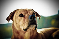 Brown dog portrait Stock Photography