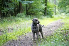 Brown dog portrait in forest lagatto romagnolo background high quality royalty free stock photos