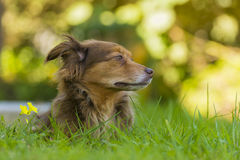 Brown dog portrait. Portrait of a brown dog lying in the grass Royalty Free Stock Photo