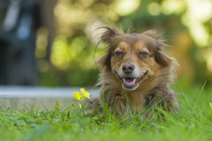 Brown dog portrait. Portrait of a brown dog lying in the grass Stock Photo