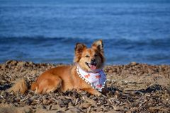 Brown dog posing happily in the beach very happy stock images