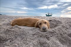 Brown dog relaxing on the beach Royalty Free Stock Photography