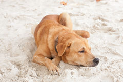 Brown dog relaxing on beach sand. In Thailand Stock Image