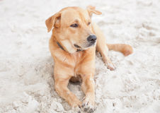 Brown dog relaxing on beach sand. In Thailand Royalty Free Stock Photo