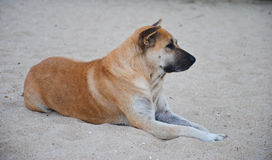 The brown dog relaxing and resting , lying on the sand. Brown dog relaxing and resting , lying on the sand Royalty Free Stock Photography
