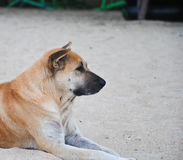 The brown dog relaxing and resting , lying on the sand. Beautiful brown dog relaxing and resting , lying on the sand Stock Image