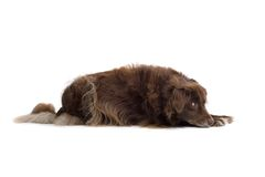 Brown Dog Resting Stock Photo