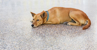 Brown dog resting on floor Royalty Free Stock Image