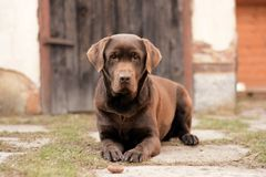 Brown Dog retriever Royalty Free Stock Image