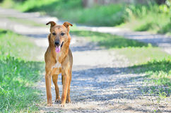 Brown dog on the road. Brown dog standing and panting on an unpaved road Royalty Free Stock Photography