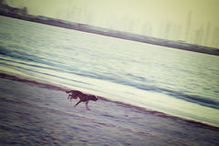 Brown dog running on the beach in vintage tone Stock Photography