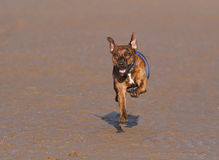 Brown dog running forward on a beach Royalty Free Stock Photography