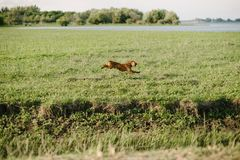 brown dog running through a green field royalty free stock image