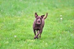 Brown dog running Stock Photos