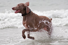 Brown Dog Running Through The Water Stock Photography