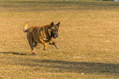 Old dog runs in the park. Brown dog runs in the park Stock Images