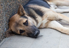 Brown dog with sad eyes. Lays on the sidewalk stock images