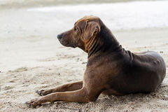 Brown dog on sand at the beach Stock Images