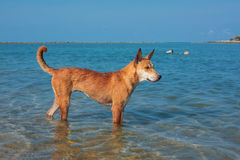Brown dog. In the sea Royalty Free Stock Image
