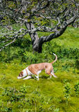 Brown Dog Searching in Tall Grass Royalty Free Stock Photography