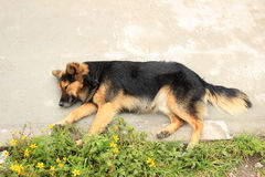 Brown Dog on a Sidewalk Stock Photos