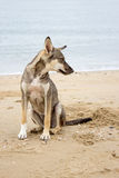 Brown dog sit on beach Stock Photography