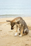 Brown dog sit on beach Royalty Free Stock Photo