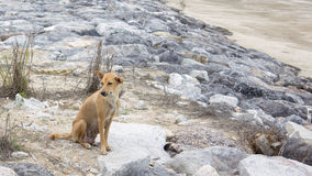 Brown dog sit on beach Stock Images