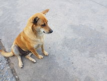 Brown dog. Stock Photo