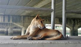 Stray Brown dog sit under the bridge. Brown dog sit under the big bridge . Huge number of stray dogs roaming the street. Many of them bone thin, mangy and Stock Image