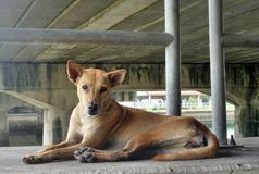 Brown dog sit under the bridge. Brown dog sit under the big bridge.  Huge number of stray dogs roaming the street. Many of them bone thin, mangy and pathetic Stock Image