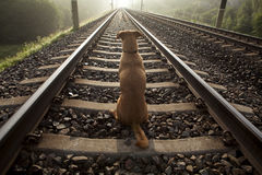 A brown dog sits on a railroad track. Royalty Free Stock Photography