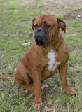 Brown dog sitting. Bull mastiff sitting in park watching its owner Royalty Free Stock Photos