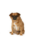 Brown dog sitting against high key background Stock Photos