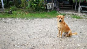 Brown dog. Sitting on the floor Royalty Free Stock Photos