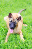 Brown dog sitting on grass field Stock Photos
