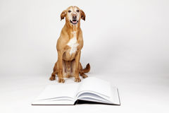 Brown dog sitting by an open book. Royalty Free Stock Image